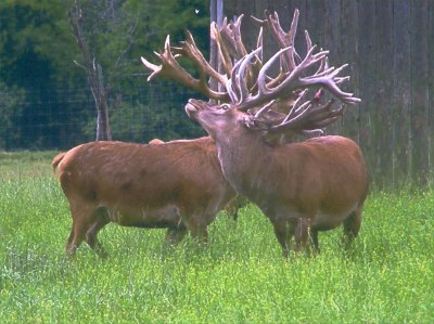 Shakaree Red Deer Farm - Breeders of Superior Red Deer